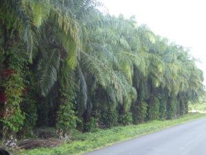 en arrivant au Costa Rica : Que de palmiers à huile sur notre route!!!