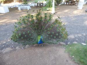 bivouac parmi les paons