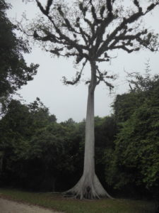 kapokier : arbre national et sacré