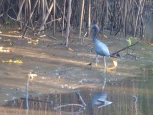 aigrette bleue dans la mangrove