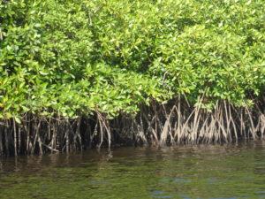 mangrove.