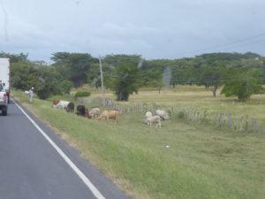 vaches gardées sur le bord de la nationale