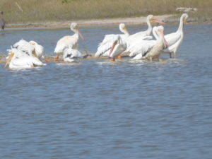 pelicans blancs