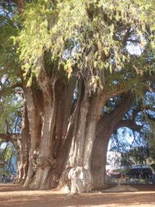 arbol d' El Tule
