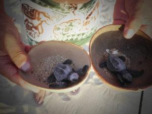 les bébés tortues prêts à rejoindre la mer