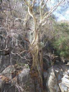 arbre à l'entrée de la grotte