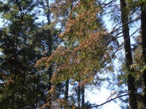les papillons en grappe dans les arbres