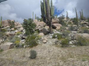 toujours des cactus