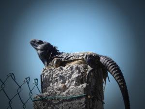 iguane se prélassant au soleil