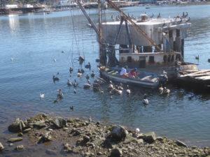 toujours autant de pélicans autour des pêcheurs