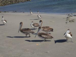 pélicans sur la petite plage d'Ensalada de los Muertos