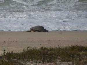 La tortue rejoint la mer